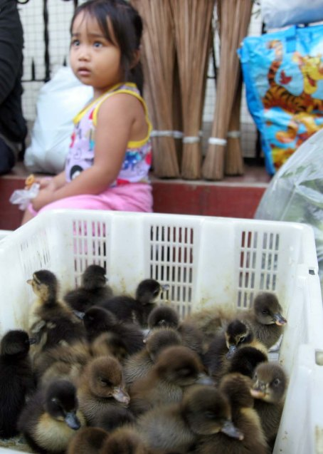 A girl sits at a corner near these ducklings being sold for P10 a piece at a sidewalk in Dagupan City. CESAR RAMIREZ