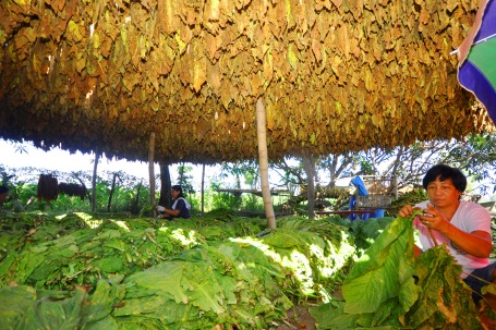 The thick bunches of tobacco leaves being air-dried provide a shade for farm workers who toil long days to produce quality tobacco leaves ready for shipping out. This scene is in Amanperez village in Villasis, one of the top producers of quality tobacco leaves in Pangasinan. WILLIE LOMIBAO.