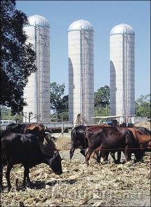 "Cows graze at the seven-hectare farm in Laoac town. Behind are silos where food for them are stored for ''rainy days"". RAY ZAMBRANO"
