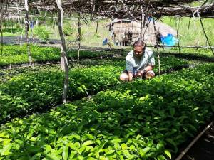 YLANG YLANG FOR EXPORT. Congressman Leopoldo Bataoil (2nd District, Pangasinan) shows the 120,000 ylang ylang seedlings at the mountainous area of Barangay Hacienda, Bugallon, Pangasinan. The perfume tree ylang-ylang known to originate in Philippines would be given to the hundreds of members of People's Organization (PO) there for them to tend as their livelihood at  public land provided by the Department of Environment & National Resources' National Greening Program. What made Bataoil's project unique is there is already an investor that would buy the fragrant flowers of the tree. The investor would then export the ylang ylang to  perfume makers in France. MORTZ C. ORTIGOZA