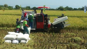 COMBINE HARVESTER.This machine, locally known as bukatot, displaces local harvesters. YOLANDA SOTELO